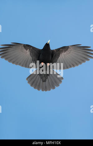 Alpine Chough or Yellow-Billed Chough, (Pyrrhocorax graculus),in flight, Bavaria, German and Austrian Alps - Stock Photo