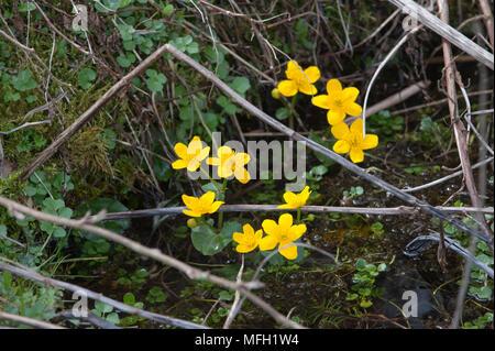 Marsh-Marigold, also known as Kingcup, (Caltha palustris), Lake Königssee, Bavaria, Germany - Stock Photo