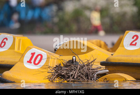 Coot or Eurasian Coot, (Fulica atra), adult bird sitting on nest built on a paddle boat in the boating lake at Regent's Park, London, United Kingdom, - Stock Photo