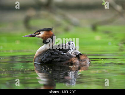 Great Crested Grebe, (Podiceps cristatus), parent bird carrying a single chick on its back, Regents Park, London, Briitish Isles, UK - Stock Photo