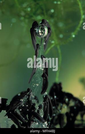 COMMON FROG  Rana temporaria tadpoles, newly hatched - Stock Photo