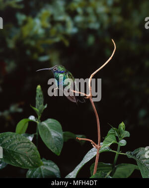 SPARKLING VIOLET-EAR HUMMINGBIRD  Colibri coruscans perched on twig - Stock Photo