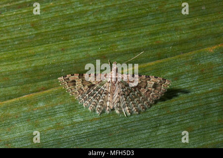 MANY-PLUMED MOTH Alucita hexadactyla Pterophoridae - Stock Photo