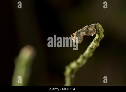 TRIANGLE WEB SPIDER male Hyptiotes paradoxus camouflaged on Yew twig. A rare cribillate orb web spinner found in Yew and Box. This family Uloboridae i - Stock Photo