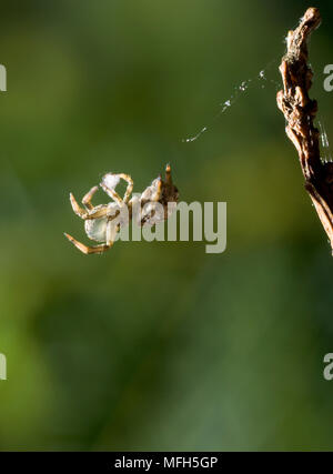 TRIANGLE WEB SPIDER male Hyptiotes paradoxus rolling up web into silk ball prior to re-ingestion.  England. A rare cribillate orb web spinner found in - Stock Photo
