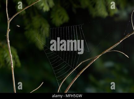 TRIANGLE WEB SPIDER male Hyptiotes paradoxus waiting in freshly made triangular web.  England. A rare cribillate orb web spinner found in Yew and Box. - Stock Photo