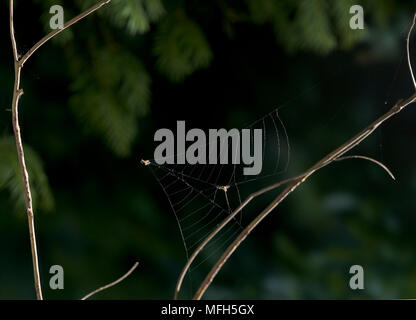 TRIANGLE WEB SPIDER male Hyptiotes paradoxus catching prey by collapsing web.  England. A rare cribillate orb web spinner found in Yew and Box. This f - Stock Photo