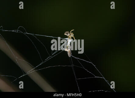 TRIANGLE WEB SPIDER male Hyptiotes paradoxus wrapping fly prey.  England. A rare cribillate orb web spinner found in Yew and Box. This family Uloborid - Stock Photo