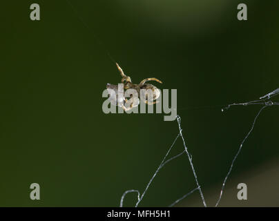 TRIANGLE WEB SPIDER male Hyptiotes paradoxus carrying wrapped fly prey.  England. A rare cribillate orb web spinner found in Yew and Box. This family - Stock Photo