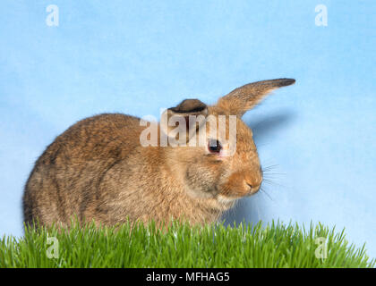 Brown bunny in green grass with blue background. A domestic rabbit, more commonly known as a pet rabbit, a bunny, or a bunny rabbit is any of the dome - Stock Photo