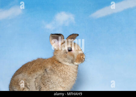 Brown bunny with blue cloudy sky background. A domestic rabbit, more commonly known as a pet rabbit, a bunny, or a bunny rabbit is any of the domestic - Stock Photo