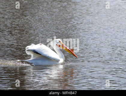 American white pelican swimming in a pond. During the breeding season, both males and females develop a pronounced bump on the top of their large beak