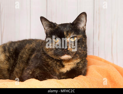 Adorable tortoiseshell tortie tabby cat laying on an orange blanket looking directly at viewer. Wood panel wall background. - Stock Photo