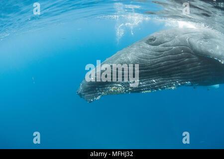 humpback whale, Megaptera novaeangliae, adult female approaches for a close look, A'u A'u Channel, off West Maui, near Lahaina, Hawaii, Hawaii Humpbac - Stock Photo
