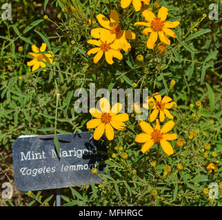 Mint Marigold in the gardens in San Clemente. Visit Casa Romanica and the herb garden. Horticulture is alive and delicious! - Stock Photo