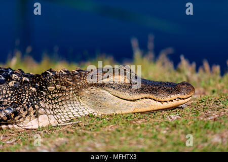 sleeping 5 foot alligator on the bank of gator lake at st. andrews state park panama city beach florida - Stock Photo