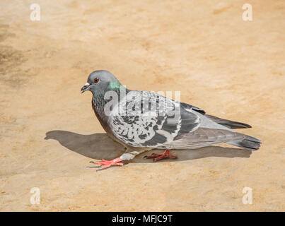 A gray pigeon with a green patch on its neck, walking on the ground - Stock Photo