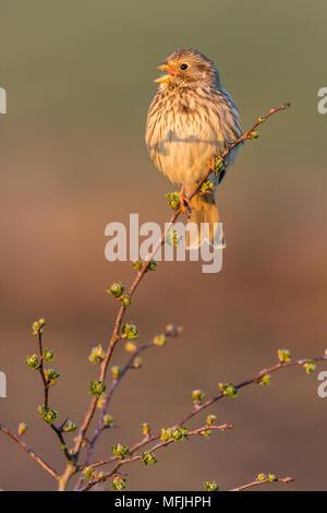 Corn bunting (Miliaria calandra) adult, calling, Kent, England, United Kingdom, Europe - Stock Photo