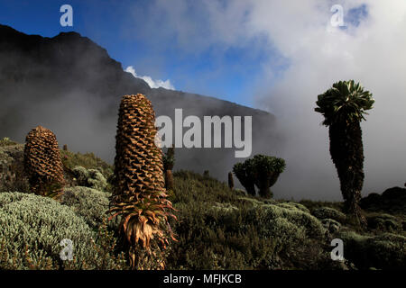 Giant groundsels growing at 4000 metres on the slopes of Mount Kilimanjaro, Tanzania, East Africa, Africa - Stock Photo