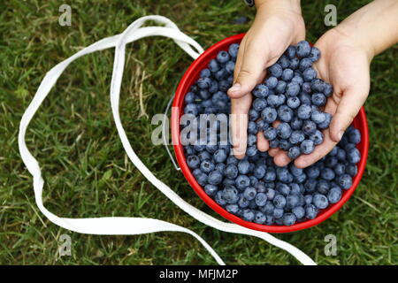 Fresh blueberries at a farm in Rogers, Arkansas. - Stock Photo