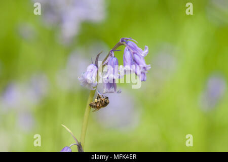 London UK. 26th April 2018. UK Weather: A honey bee pollinates a bluebell flower in Wimbledon Common as the bluebell season normally peaks between April and May Credit: amer ghazzal/Alamy Live News - Stock Photo