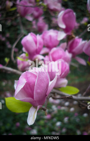 Beautiful pink magnolias in full bloom - Stock Photo