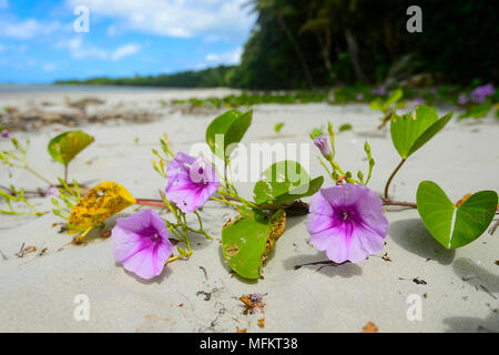 Beach Morning Glory (Ipomoea pes-caprae) is a common pantropical creeping vine growing on sandy beaches. Daintree National Park, Far North Queensland, - Stock Photo