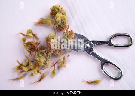 Macro detail of cannabis calyxes (sour tangie strain) isolated on white - Medical marijuana concept background - Stock Photo