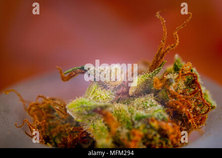 Macro detail of cannabis calyxes (sour tangie strain)  with visible trichomes - Medical marijuana concept - Stock Photo