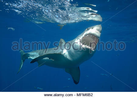 Great white shark (Carcharodon carcharias), open mouth, Guadelupe, Mexico - Stock Photo