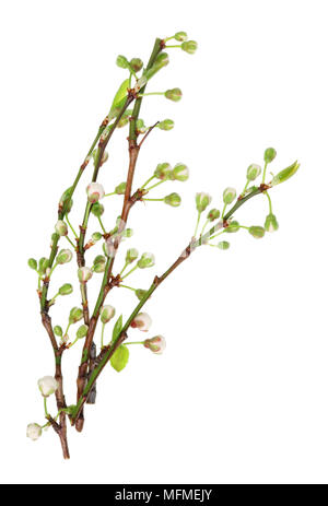 Four spring April cherry tree twigs with little flower buds. Isolated on white studio macro shot - Stock Photo