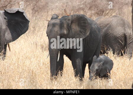 Herd of elephants with a baby calf. - Stock Photo