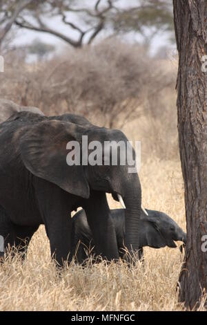 Mother and baby elephant walking by a tree, through long grass - Stock Photo