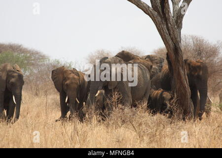 Herd of elephants sheltering under a tree in the grasslands - Stock Photo
