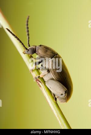 Chrysomelidae - Stock Photo