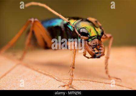 Tiger beetle - Ciccindelidae - Stock Photo
