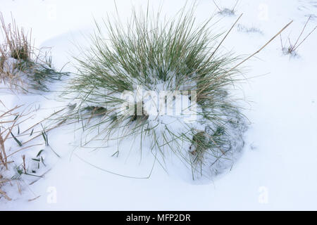 Fresh deep snow covering on golden oats or giant feather grass, Stipa gigantea,  on a cold grey winter day in March - Stock Photo