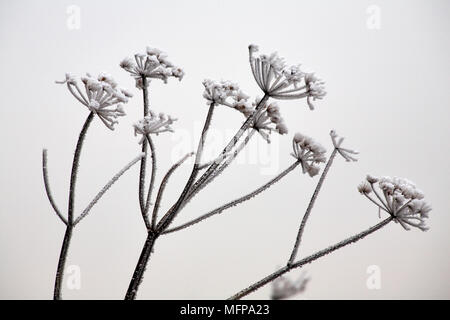 Cow parsley (Anthriscus sylvestris) covered with hoar frost at Dorset in January. - Stock Photo