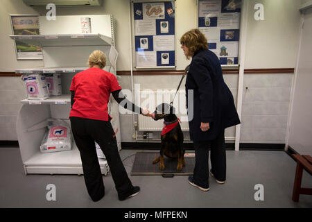 Vet Lara Howe of the Pet Blood Bank, weighing Roxy the Doberman, as her owner Louise Barton looks on, at a blood donation session for dogs held at a veterinary hospital in Penkridge, Staffordshire. - Stock Photo