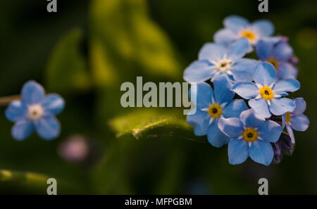 Myosotis Sylviatica, Forget Me Not, macro image showing delicate blue flowers with yellow centre, Shepperton, England, U.K. - Stock Photo