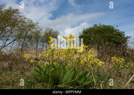 Cowslips Primula veris. Conwy. Wales - Stock Photo