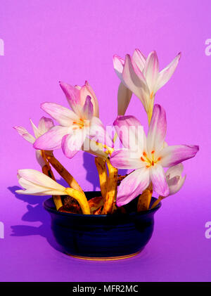 These large flowered autumn crocus can be seen growing in gardens or pots. They can even be grown on a window sill without compost or water. - Stock Photo
