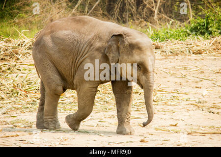 Baby Asian elephant walking isolated in nature - Stock Photo