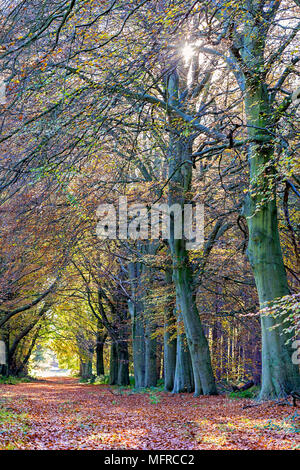 Autumn scene of a pathway through Beech woodland, part of Sherwood Forest. - Stock Photo