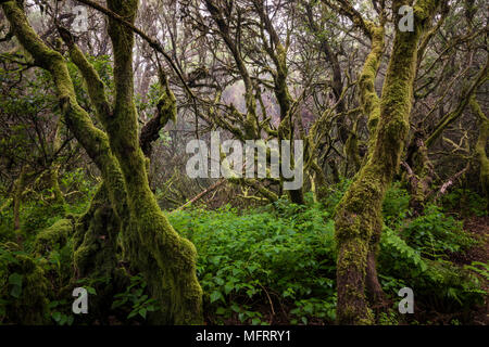 Moss-covered trees in the fog forest, laurel forest, Raya la Llania, El Hierro, Canary Islands, Spain Stock Photo