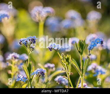 Myosotis Sylviatica, Forget Me Not, macro image showing delicate blue flowers with yellow centre and green foliage, Shepperton, England, U.K. - Stock Photo