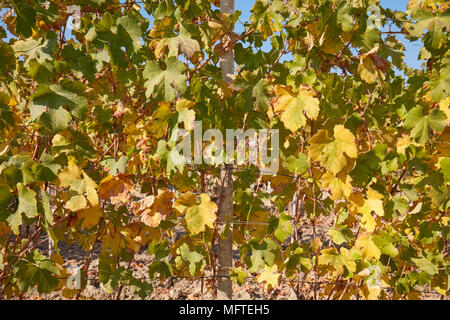 Vine, green and yellow leaves texture background in a sunny autumn day - Stock Photo