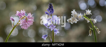 Colour forms of Spanish bluebell (Hyacinthoides hispanica). Pink, white and blue varieties of species introduced to the UK, in the family Asparagaceae - Stock Photo