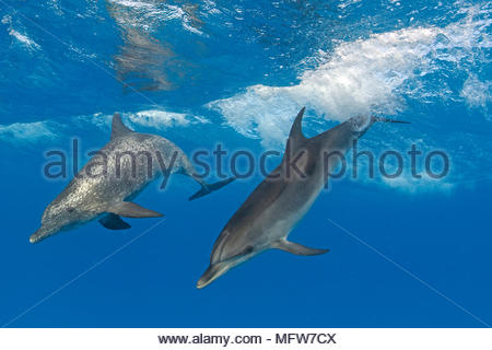 Atlantic spotted dolphins (Stenella frontalis), Bahama Banks, Bahamas - Stock Photo