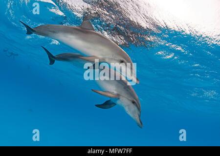 Atlantic spotted dolphin (Stenella frontalis), juvenile, Bahama Banks, Bahamas